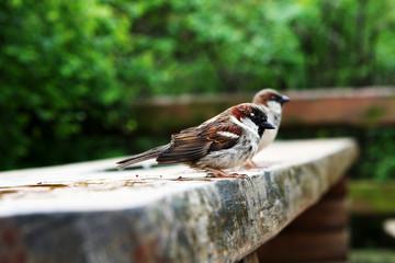 Sparrow on the Parkbench