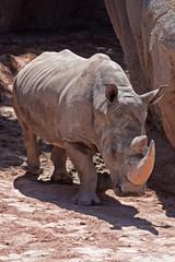 Rhino (Bioparc, Valencia, Spain)