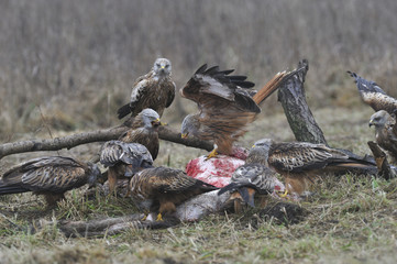 Red kites gathered on carrion