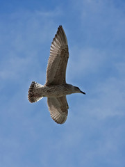 Young herring gull flying on the blue sky