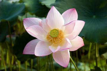 Lotus portrait in habitat