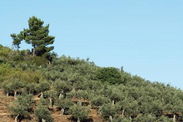 Olivos en bancales