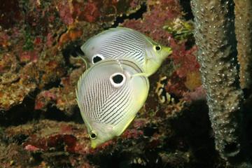 Pair of Four-eye Butterflyfish (Chaetodon capistratus) - Roatan