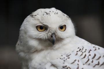 目の大きい白フクロウ
