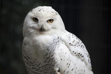 見つめる白フクロウ