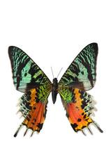 The Sunset Moth (Urania riphaeus)