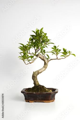Piccolo albero bonsai su sfondo bianco di neropece foto for Bonsai comprare