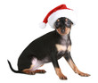 Toy Terrier in Christmas cap