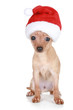 Funny Toy Terrier in Chiristmas cap
