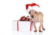 Funny Toy Terrier in Christmas cap with gift