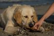 Golden retriever sulla spiaggia
