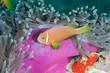 Anemonfish