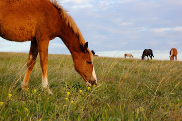A herd of horses grazing on the meadow