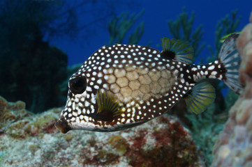 Smooth Trunkfish (Lactophrys triqueter) - Cozumel, Mexico