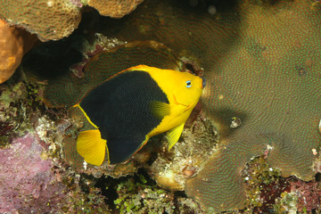 Rock Beauty (Holacanthus tricolor) - Cozumel