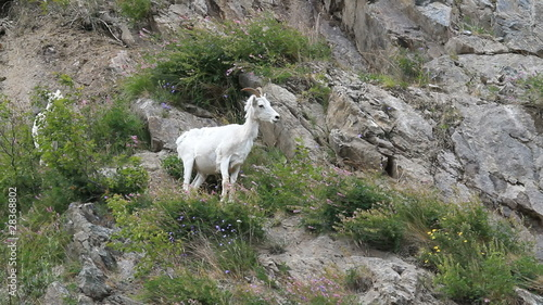 Dall Sheep female on mountain P HD 1559