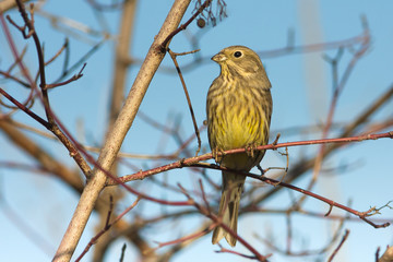 Yellowhammer resting on a branch / Emberiza citrinella