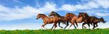 Fototapety herd gallops in green field