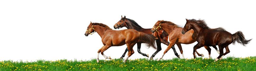 herd gallops