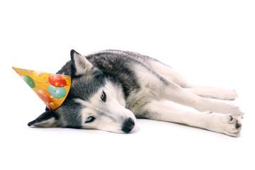 Hund Husky mit Partyhut
