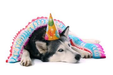 Hund Husky mit Partyhut und Girlande
