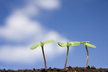 青空とヒマワリの新芽