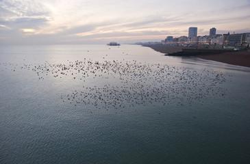 Natural migration of European starlings in murmuration