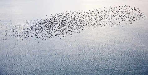 Natural migration of European starlings in murmuration