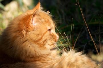 Gatto rosso sul prato