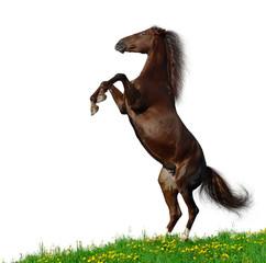 Brown horse rear