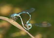 canvas print picture - Common Bluet Damselflies (Enallagma cyathigerum)  Mating