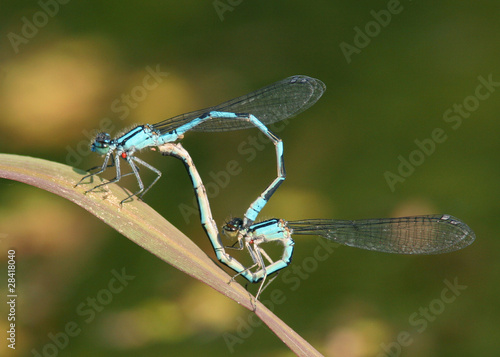 canvas print picture Common Bluet Damselflies (Enallagma cyathigerum)  Mating