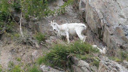 Dall Sheep mother lamb ledge P HD 1558