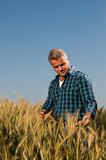 Examining ripe wheat field