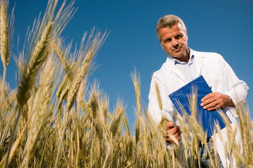 Technician checking the growth of the wheat field