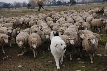 chien et mérinos