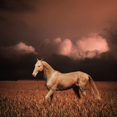 Palomino akhal-teke horse in evening wheat field