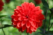 Closeup of a Dahlia in red color