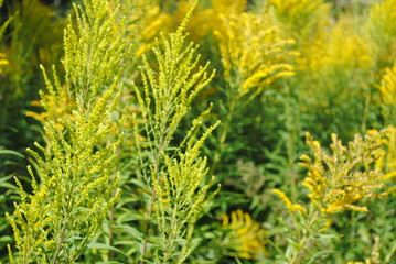 Goldrute  Solidago