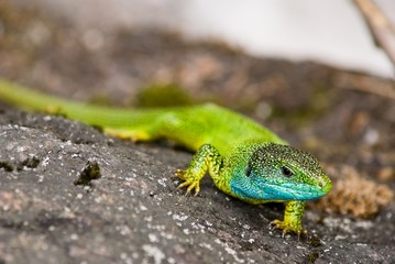 green lizard on a stone