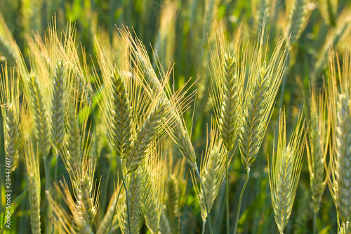 close-up ears of wheat - 28447607