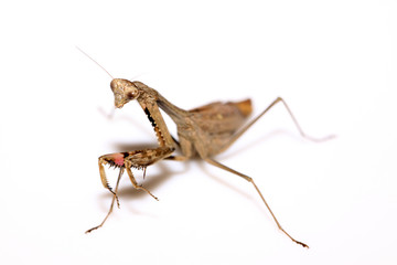 a mantis, its paws have colored stripes