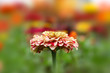 Close up shot of zinnia flower in the garden