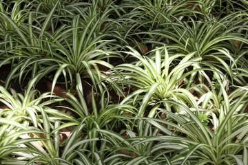 phalangère, chlorophytum, plante araignée, plante d'!ntérieur