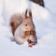 Squirrel on the snow with a hazelnut