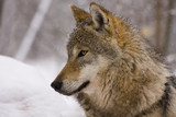 Portrait of an European grey wolf (Canis lupus lupus) poster