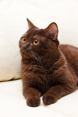 Brown cat British Shorthair