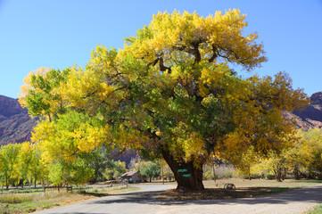 Beautiful Cottonwood  Tree  in Autumn