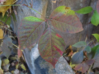 Giftsumach (Poison Ivy) im Herbst