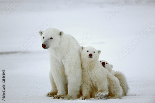 In de dag Ijsbeer Polar she-bear with cubs.